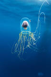 Chile, Diego Ramirez Island, Box Jellyfish in Drake Passage. Photographic Print by Paul Souders
