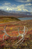Caribou antlers in front of Mt. McKinley, Denali NP, Alaska, USA Photographic Print by Jerry Ginsberg