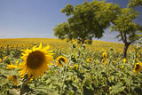 Spain, Andalusia, Cadiz Province. Trees in field of sunflowers. Photographic Print by Julie Eggers