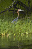 Goliath Heron along the Zambezi River, Zimbabwe, Africa Photographic Print by David Wall