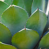 USA, Arizona. Close-up of succulent plant in Phoenix Botanical Gardens Photographic Print by Anna Miller
