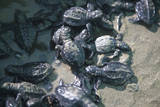 Central America, El Salvador, turtle hatchlings. Photographic Print by Connie Bransilver