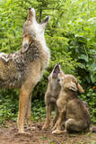 USA, Minnesota, Sandstone. Coyote mother and pups howling. Photographic Print by Wendy Kaveney