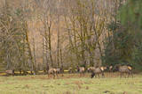 USA, Washington, Olympic Peninsula. Roosevelt elk herd grazing. Photographic Print by Steve Kazlowski