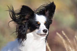 Portrait of a Papillon sitting in the wind. Photographic Print by Zandria Muench Beraldo