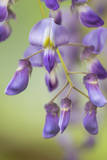 USA, Washington State, Cluster of spring wisteria blooms close-up. Photographic Print by Trish Drury