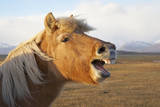 Iceland, Hofn. Icelandic horse seems to laugh at camera. Photographic Print by Josh Anon