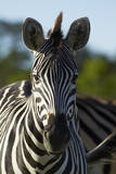 Chapman's zebra, Hwange National Park, Zimbabwe, Africa Photographic Print by David Wall