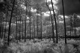 USA, Florida, slash pine and palmetto palm landscape. Infrared. Photographic Print by Connie Bransilver