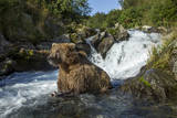 USA, Alaska, Katmai NP, Coastal Brown Bear fishing for salmon. Photographic Print by Paul Souders