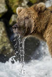 USA, Alaska, Katmai NP, Coastal Brown Bear fishing for salmon. Photographic Print by Paul Souders