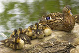 USA, Washington, Seattle. Mallard duck with ducklings on a log. Photographic Print by Steve Kazlowski