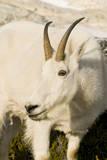 USA, Washington, Upper Enchantments Lake Basin. Mountain goat ewe. Photographic Print by Steve Kazlowski