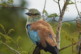European Roller, Kruger National Park, South Africa Photographic Print by David Wall