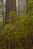 Rhododendrons blooming with Redwood trees, Redwood NP, California, USA Photographic Print by Jerry Ginsberg