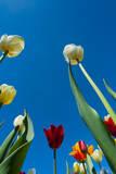 Tulip. Photographic Print by Nico Tondini