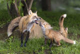 USA, Minnesota, Sandstone. Red fox and pup playing. Photographic Print by Wendy Kaveney