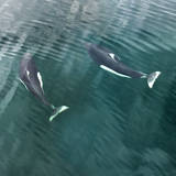 USA, Alaska, Seymour Canal. Dall's porpoises swimming. Photographic Print by Don Paulson