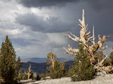 USA, California, Inyo National Forest. Bristlecone Pine Forest. Photographic Print by Don Paulson