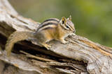 USA, Washington, Copper Ridge. Yellow-pine chipmunk on a log. Photographic Print by Steve Kazlowski