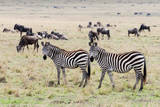 Common zebra, Maasai Mara National Reserve, Kenya Photographic Print by Nico Tondini