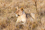 Female lion, Maasai Mara National Reserve, Kenya Photographic Print by Nico Tondini