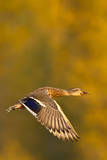 Mallard Duck in autumn. Photographic Print by Larry Ditto