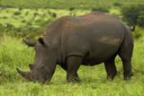 Southern white rhinoceros, Kruger National Park, South Africa Photographic Print by David Wall