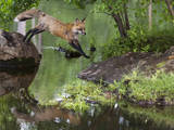 USA, Minnesota, Sandston. Red fox leaping from rock to shore. Photographic Print by Wendy Kaveney