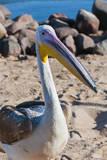 White pelican, Walvis Bay, Erongo Region, Namibia. Photographic Print by Nico Tondini