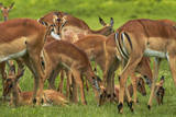 Herd of Impala, by Chobe River, Chobe NP, Kasane, Botswana, Africa Photographic Print by David Wall