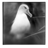 Chile, Diego Ramirez Islands, Gray-headed Albatross at its nest. Photographic Print by Paul Souders