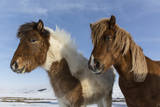 Icelandic horses, Iceland. Photographic Print by Bill Young