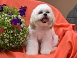 Shih Tzu puppy sitting by flowers Photographic Print by Zandria Muench Beraldo