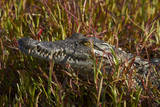 Nile crocodile, Guma Lagoon, Okavango Delta, Botswana, Africa Photographic Print by David Wall
