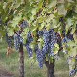 Canada, British Columbia, Osoyoos. View of purple grapes in vineyards. Photographic Print by Don Paulson