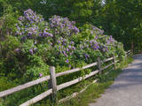 USA, Michigan. Blooming French Lilac along a wooden fence. Photographic Print by Anna Miller