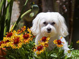 USA, California. Maltese in a flower pot with flowers. Photographic Print by Zandria Muench Beraldo