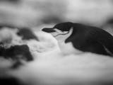 Chinstrap Penguin resting on Deception Islan, Antarctica. Photographic Print by Paul Souders