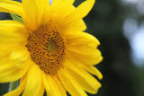 Sunflower, Renton, Washington State, USA Photographic Print by Savanah Stewart