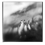 Antarctica, Deception Island, Chinstrap Penguins on snow slope. Photographic Print by Paul Souders