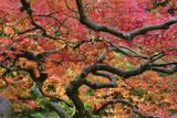Japanese Maple at the Portland Japanese Garden, Portland, Oregon, USA Photographic Print by Michel Hersen