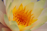 USA, Georgia, Savannah, Close-up of a water lily. Photographic Print by Joanne Wells