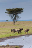 Blue wildebeest, Maasai Mara National Reserve, Kenya Photographic Print by Nico Tondini