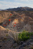 Ocotillo plant in bloom. Photographic Print by Larry Ditto