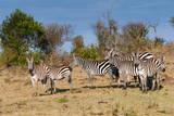 Common Zebra or Burchell's Zebra, Maasai Mara National Reserve, Kenya Photographic Print by Nico Tondini