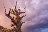The Sentinel Tree in Bristlecone Pine Forest, Inyo, California, USA Photographic Print by Don Paulson