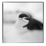 Antarctica, Deception Island, Chinstrap Penguin resting in snow. Photographic Print by Paul Souders