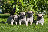 Pup puppies all lined up, California, USA Photographic Print by Zandria Muench Beraldo