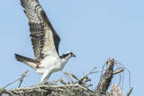 Osprey on nest, Edgewater, Florida, USA Photographic Print by Jim Engelbrecht